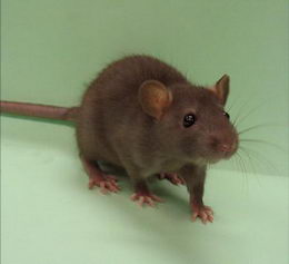 rat_image.jpg